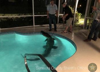 735x525_florida_gator_swimmingpool.jpg